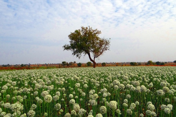 onion-fields-285107_1280